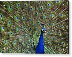Indian Peafowl Male With Tail Fanned Acrylic Print by Tim Fitzharris