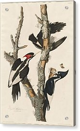 Ivory-billed Woodpecker Acrylic Print by Dreyer Wildlife Print Collections