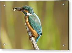 Kingfisher Acrylic Print by Paul Neville