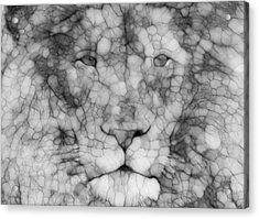 Lion  Acrylic Print by Jack Zulli