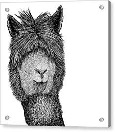 Llama Acrylic Print by Karl Addison