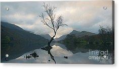 Lone Tree At Llyn Padarn Acrylic Print