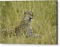 Lovely Leopard Acrylic Print by Michele Burgess