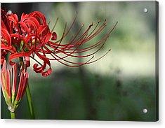 Lycoris Radiata Acrylic Print