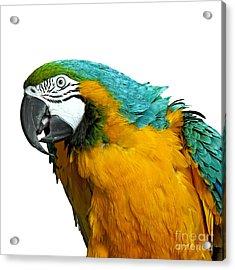 Macaw Bird Acrylic Print