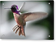 Male Anna's In Flight Acrylic Print