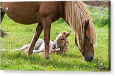 Mare And New Born Foal, Iceland Acrylic Print by Panoramic Images