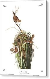Marsh Wren Acrylic Print