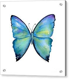 2 Morpho Aega Butterfly Acrylic Print by Amy Kirkpatrick