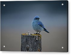 Mountain Bluebird 2 Acrylic Print