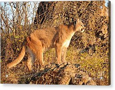 Mountain Lion Acrylic Print by Dennis Hammer