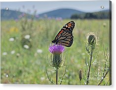 Mountain Meadow Monarch Acrylic Print