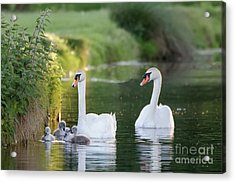 Mute Swan - Cygnus Olor - Adult And Cute Fluffy Baby Cygnets, Swim Acrylic Print by Paul Farnfield