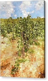 Napa Vineyard In The Spring Acrylic Print