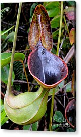 Nepenthes Pitcher Plant Acrylic Print