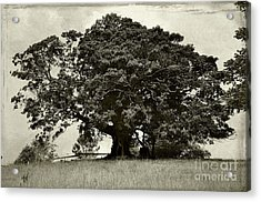 Old Fig Tree Acrylic Print by Kaye Menner
