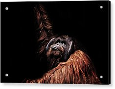Orangutan Acrylic Print by Martin Newman