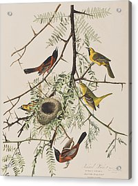 Orchard Oriole Acrylic Print by John James Audubon