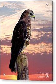 Peregrine Falcon Acrylic Print by Lynn Bolt