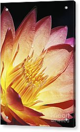 Pink Water Lily Acrylic Print by Bill Brennan - Printscapes