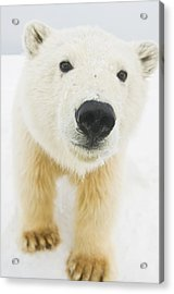 Polar Bear  Ursus Maritimus , Curious Acrylic Print