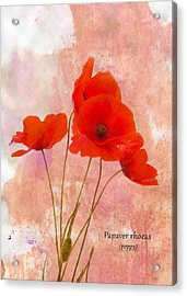 Poppy Acrylic Print by Mark Rogan