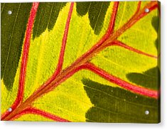 Acrylic Print featuring the photograph Prayer Plant Maranta Leuconeura by Gabor Pozsgai