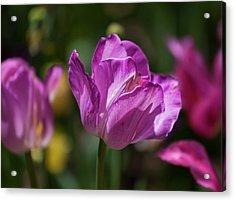 Purple Tulip Acrylic Print by Robert Ullmann