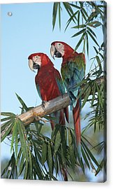 Red And Green Macaw Ara Chloroptera Acrylic Print by Konrad Wothe