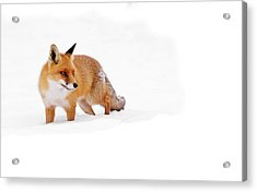 Red Fox In A White World Acrylic Print by Roeselien Raimond