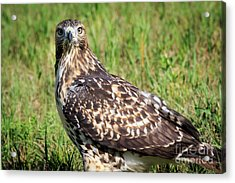 Red-tail Portrait Acrylic Print