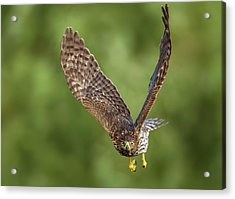 Acrylic Print featuring the photograph Red-tailed Hawk by Peter Lakomy