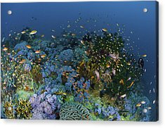 Reef Scene With Coral And Fish Acrylic Print by Mathieu Meur