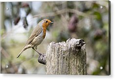 Acrylic Print featuring the photograph Robin by Steven Poulton