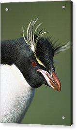 Rockhopper Penguin Eudyptes Chrysocome Acrylic Print by Tui De Roy