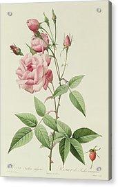 Rosa Indica Vulgaris Acrylic Print