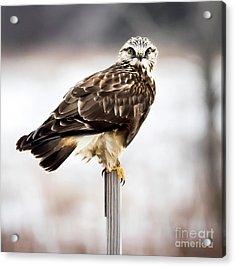 Rough-legged Hawk Acrylic Print by Ricky L Jones