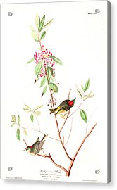 Ruby Crowned Wren Acrylic Print