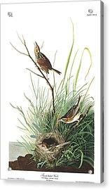 Sharp-tailed Finch Acrylic Print