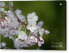 Silicon Valley Cherry Blossoms Acrylic Print by Glenn Franco Simmons