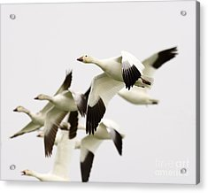 Snow Geese Acrylic Print by Dennis Hammer