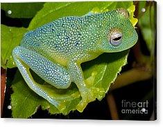 Spiny Glass Frog Acrylic Print by Dante Fenolio