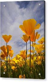 Springtime Poppies  Acrylic Print