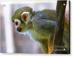 Squirrel Monkey Acrylic Print by Afrodita Ellerman