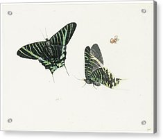 Studies Of Two Butterflies Acrylic Print by Anton Henstenburgh