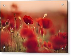 Summer Poppy Meadow Acrylic Print