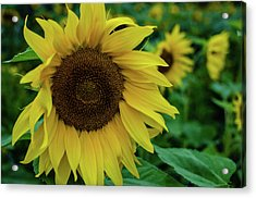 Sunflower Fields Acrylic Print by Miguel Winterpacht