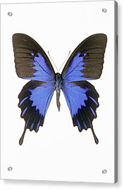 Swallowtail Butterfly Acrylic Print by Lawrence Lawry