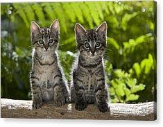 Tabby Kittens Acrylic Print by Jean-Louis Klein & Marie-Luce Hubert