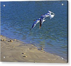 2 Terns In Flight Acrylic Print